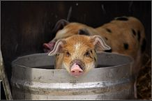 """""""Pig in a bucket"""" by Ben Salter - Flickr: ¿Me hablaban?. Licensed under CC BY 2.0 via Commons."""